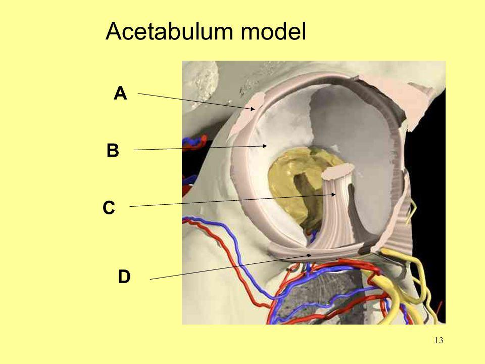 13 Acetabulum model A B C D