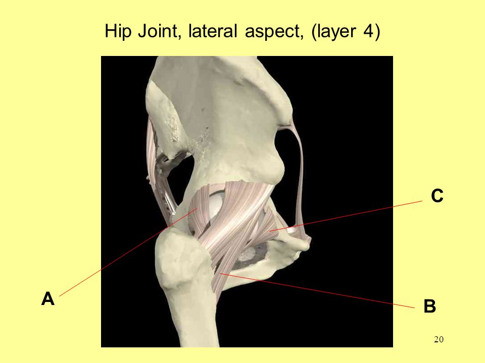 20 Hip Joint, lateral aspect, (layer 4) A B C