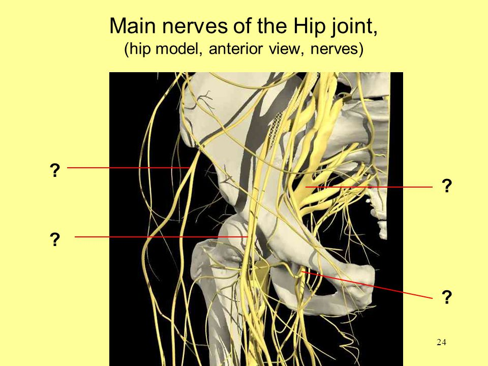 24 Main nerves of the Hip joint, (hip model, anterior view, nerves)