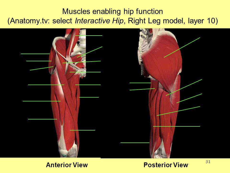 31 Muscles enabling hip function (Anatomy.tv: select Interactive Hip, Right Leg model, layer 10) Anterior View Posterior View
