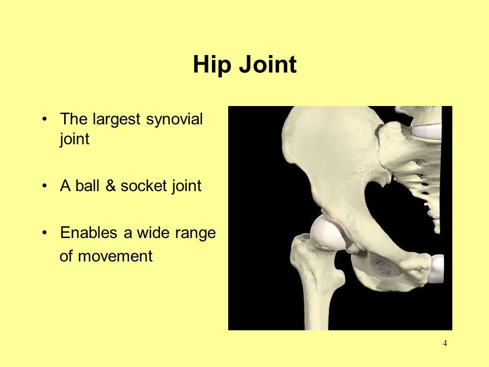 4 Hip Joint The largest synovial joint A ball & socket joint Enables a wide range of movement
