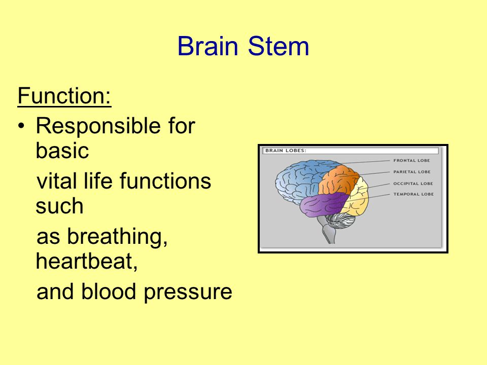 Brain Stem Function: Responsible for basic vital life functions such as breathing, heartbeat, and blood pressure