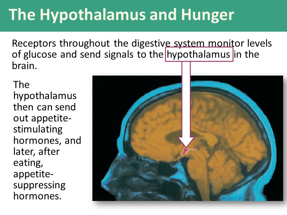 Receptors throughout the digestive system monitor levels of glucose and send signals to the hypothalamus in the brain. The Hypothalamus and Hunger The