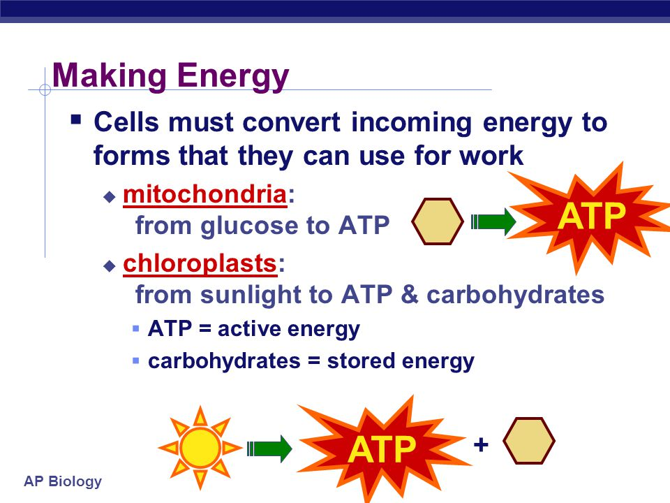 AP Biology Apoptosis  programmed destruction of cells in multi- cellular organisms  programmed development  control of cell growth  example: if cell grows uncontrollably this self-destruct mechanism is triggered to remove damaged cell  cancer must over-ride this to enable tumor growth