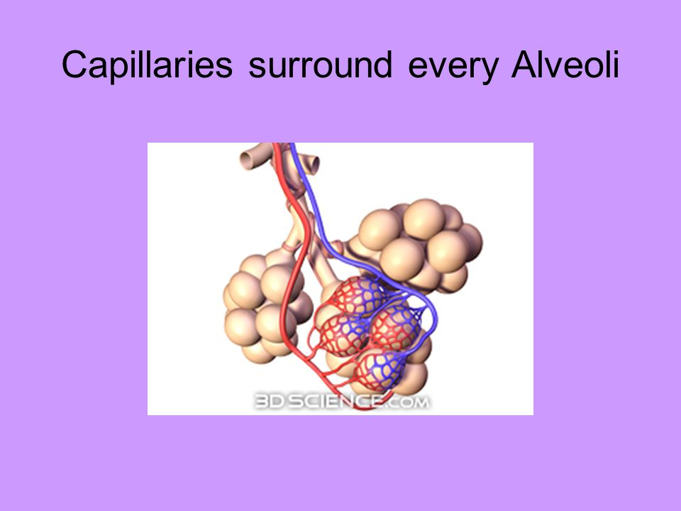 Capillaries surround every Alveoli