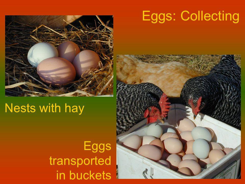 Eggs: Collecting Nests with hay Eggs transported in buckets