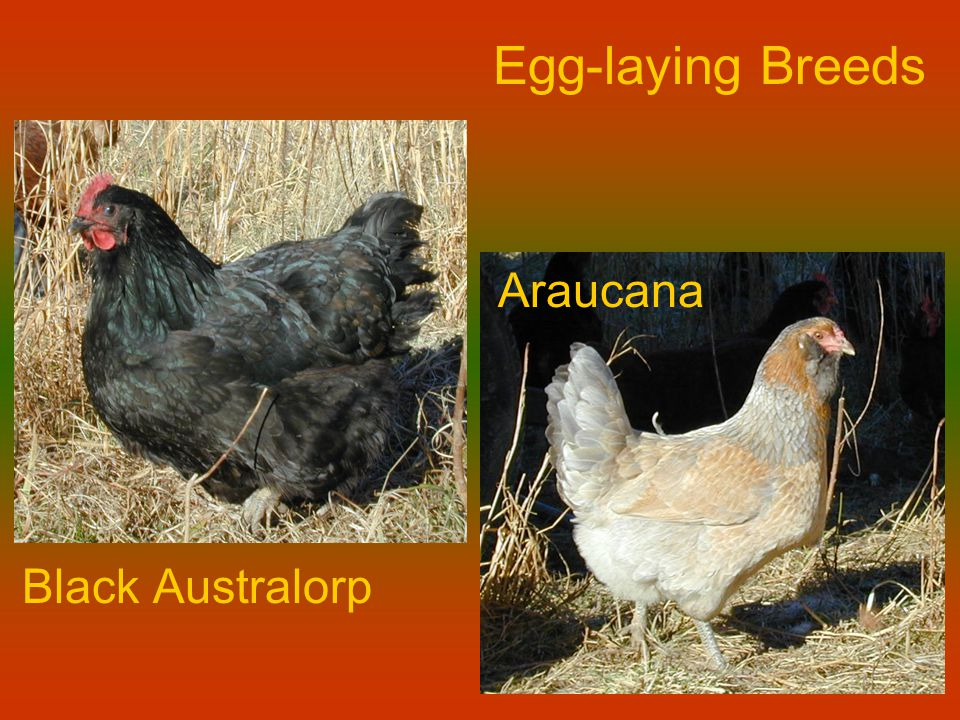 Egg-laying Breeds Black Australorp Araucana