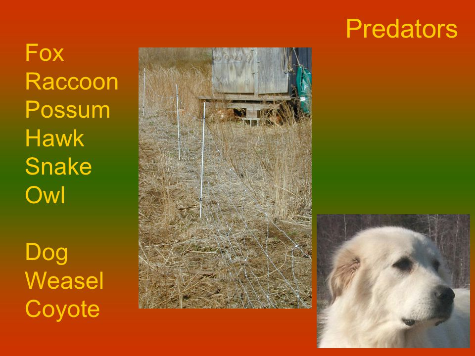 Predators Fox Raccoon Possum Hawk Snake Owl Dog Weasel Coyote