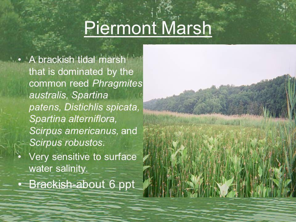 Piermont Marsh A brackish tidal marsh that is dominated by the common reed Phragmites australis, Spartina patens, Distichlis spicata, Spartina alterniflora, Scirpus americanus, and Scirpus robustos.
