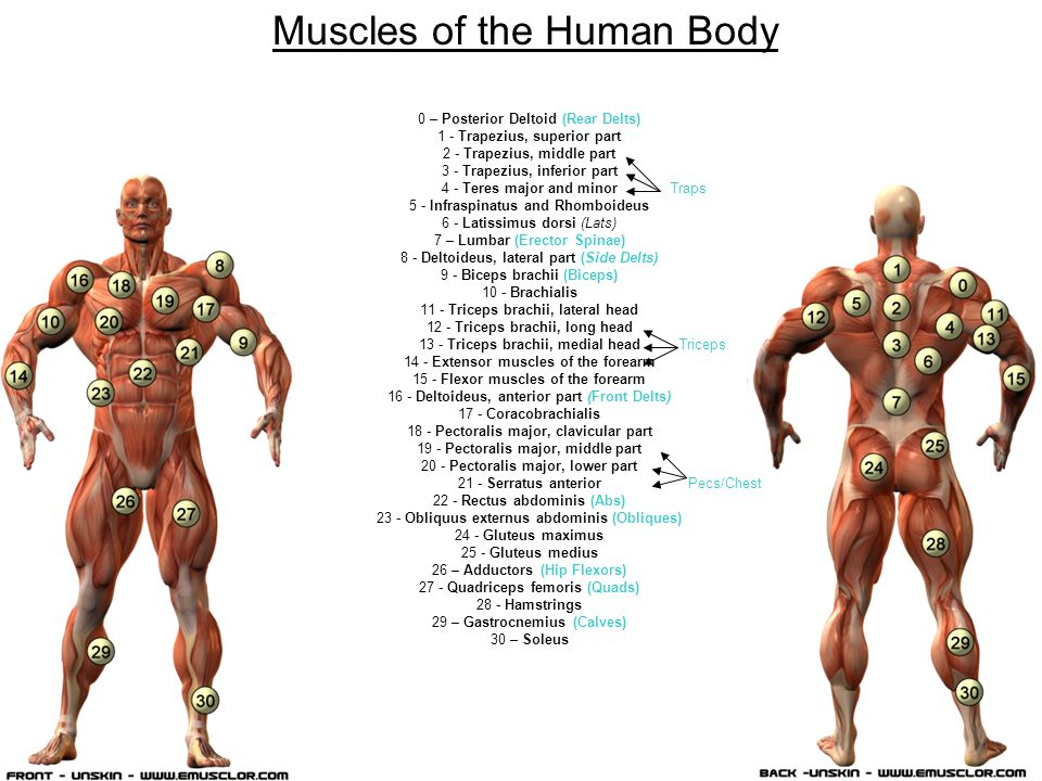 Machines and Muscle Groups Power Cleans Deltoids, Triceps, Middle Back, Lower Back, Traps, Forearms, Quadriceps, Hamstrings, Calves, Shoulders, Glutes Squats Quadriceps, Glutes, Hamstrings, Calves, Lower Back Jammer Quadriceps, Glutes, Hamstrings, Gastrocnemius, Triceps, Lats, Deltoids Alternating Jammer Hip Flexors, Deltoids, Latissimus Dorsi, Reciprocal Leg Quadriceps, Hamstrings Upright Rows Latissimus Dorsi, Rhomboids, Trapezius, Rear Deltoid, Teres Major, Biceps Bench Press Middle Pectorals, Upper/Lower Pectorals, Triceps, Front Deltoids Decline Press Lower Pectorals, Middle/Upper Pectorals, Triceps, Front Deltoids Alternating Incline Hip Flexors, Erector spinae, Deltoids, Latissimus Dorsi POWER HAMMER/ PUSH PULL