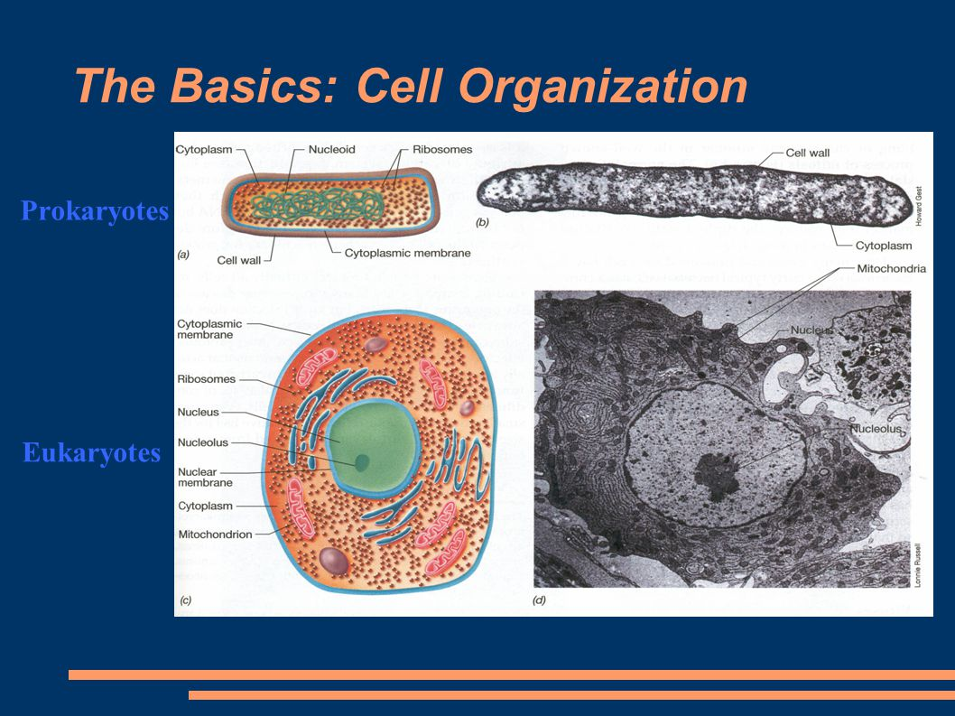 The Basics: Cell Organization Prokaryotes Eukaryotes