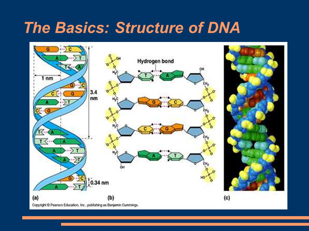 The Basics: Structure of DNA