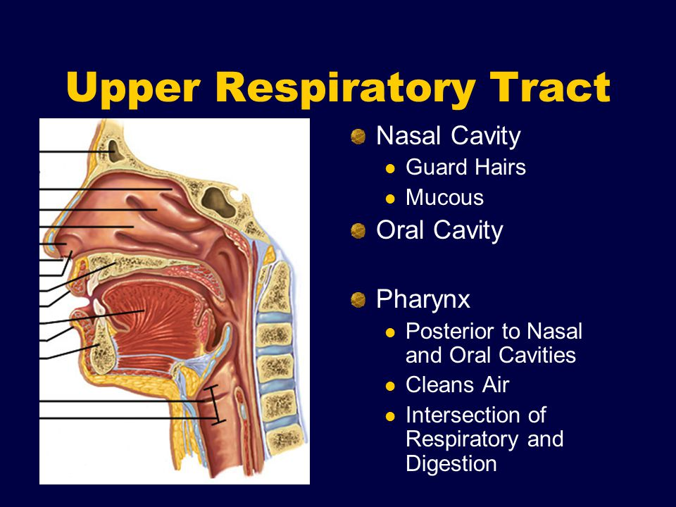 Upper Respiratory Tract Nasal Cavity Guard Hairs Mucous Oral Cavity Pharynx Posterior to Nasal and Oral Cavities Cleans Air Intersection of Respiratory and Digestion
