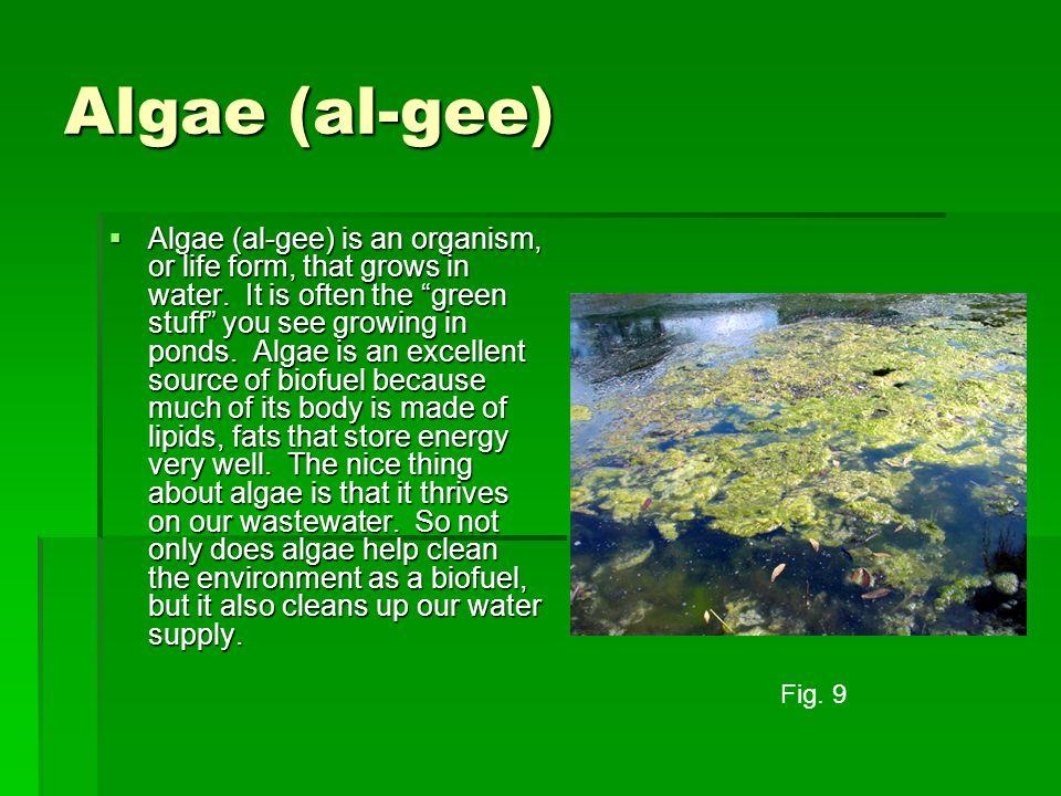 Algae (al-gee)  Algae (al-gee) is an organism, or life form, that grows in water.