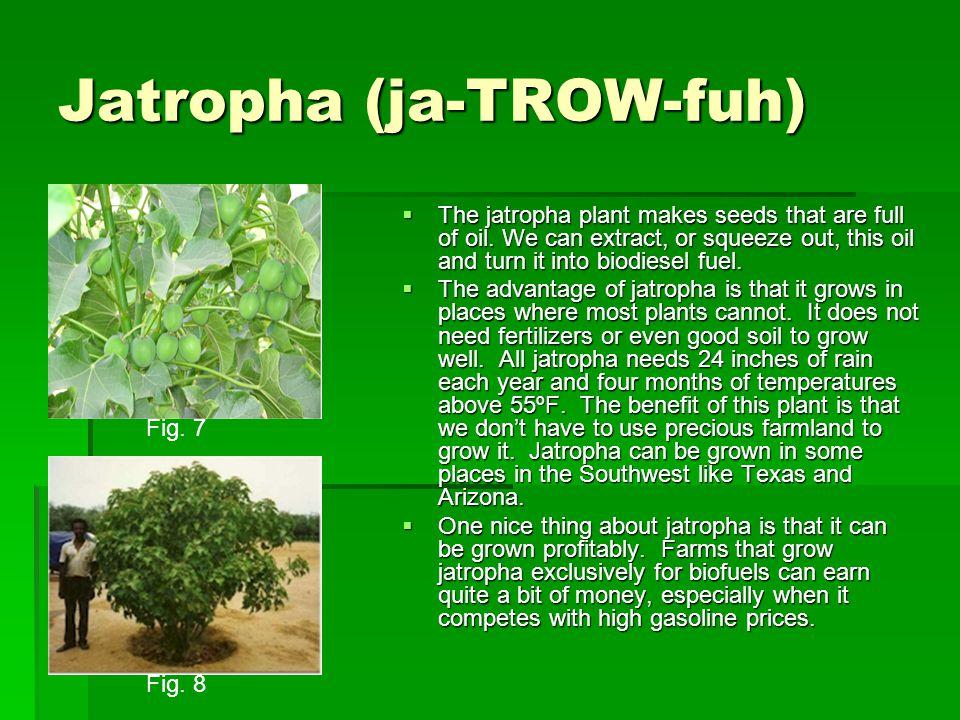 Jatropha (ja-TROW-fuh)  The jatropha plant makes seeds that are full of oil.