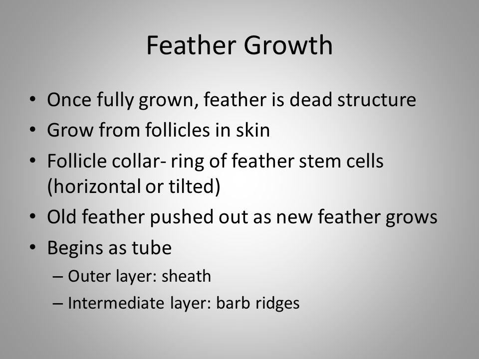Feather Growth Once fully grown, feather is dead structure Grow from follicles in skin Follicle collar- ring of feather stem cells (horizontal or tilt