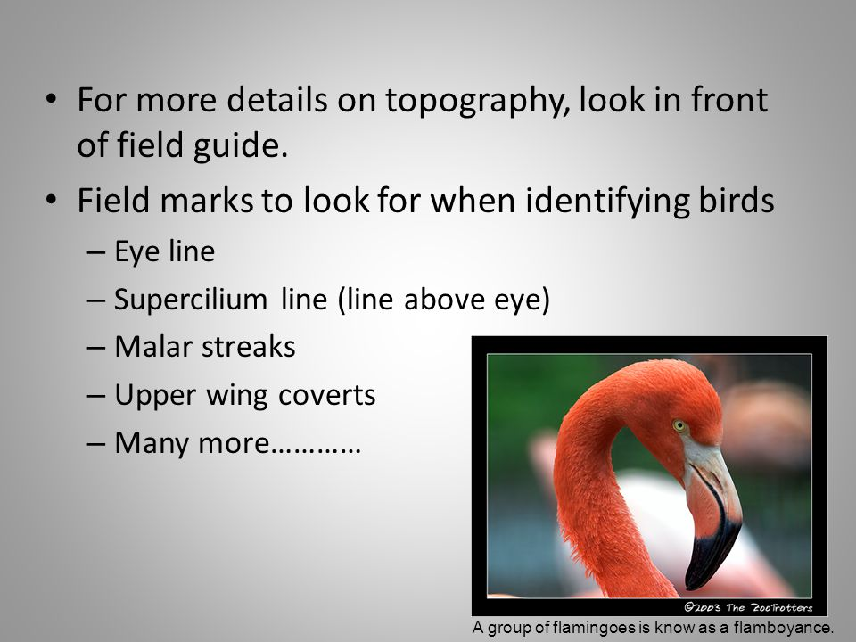 For more details on topography, look in front of field guide. Field marks to look for when identifying birds – Eye line – Supercilium line (line above