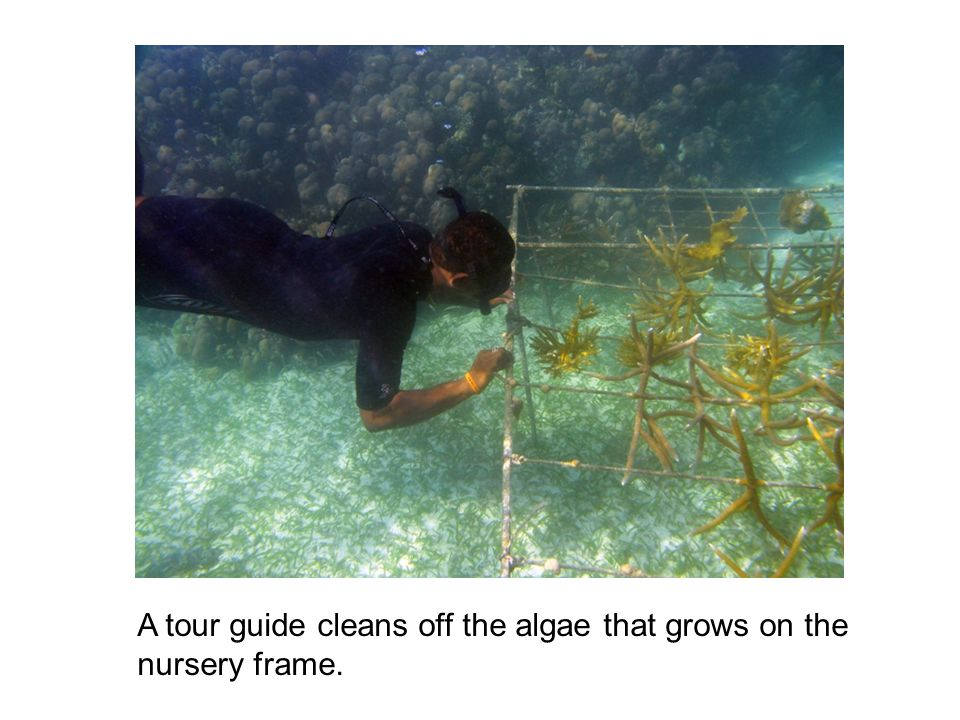 A tour guide cleans off the algae that grows on the nursery frame.
