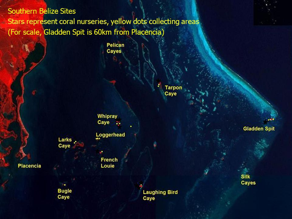 Southern Belize Sites Stars represent coral nurseries, yellow dots collecting areas (For scale, Gladden Spit is 60km from Placencia)