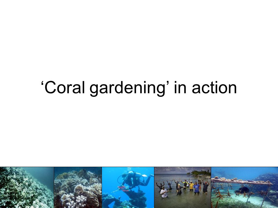 'Coral gardening' in action