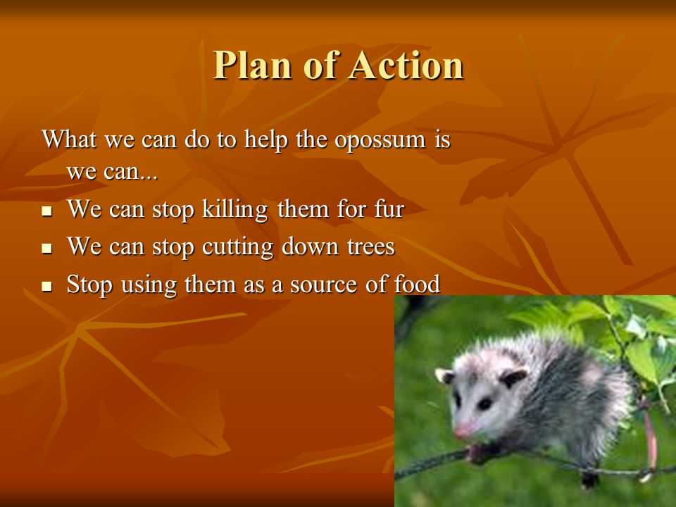 Plan of Action What we can do to help the opossum is we can...