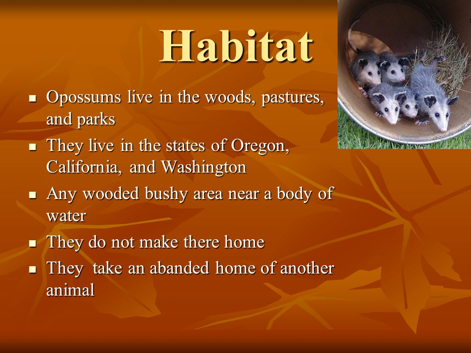 Habitat Opossums live in the woods, pastures, and parks Opossums live in the woods, pastures, and parks They live in the states of Oregon, California, and Washington They live in the states of Oregon, California, and Washington Any wooded bushy area near a body of water Any wooded bushy area near a body of water They do not make there home They do not make there home They take an abanded home of another animal They take an abanded home of another animal