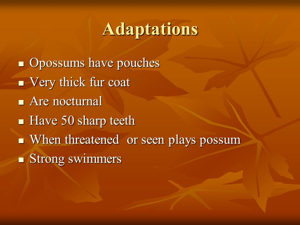 Adaptations Opossums have pouches Opossums have pouches Very thick fur coat Very thick fur coat Are nocturnal Are nocturnal Have 50 sharp teeth Have 50 sharp teeth When threatened or seen plays possum When threatened or seen plays possum Strong swimmers Strong swimmers