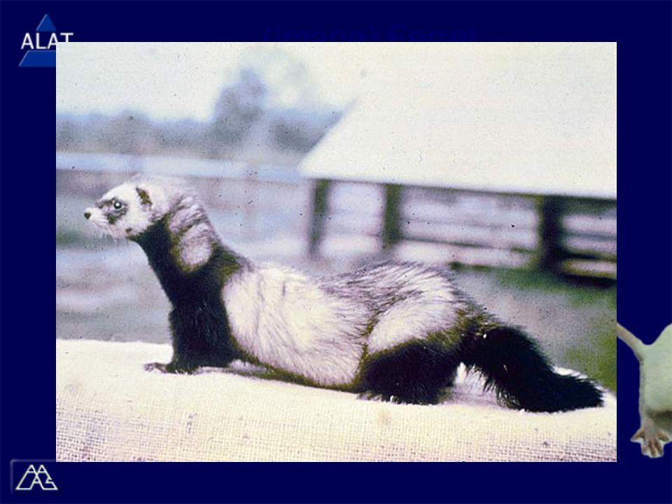 (Image) Ferret