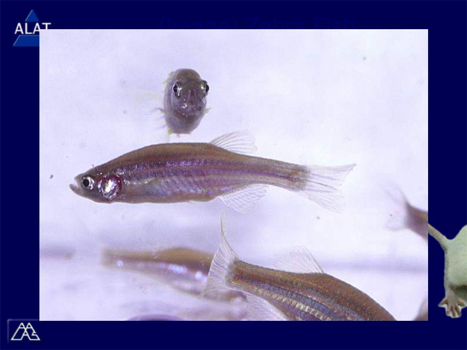 (Image) Zebra Fish