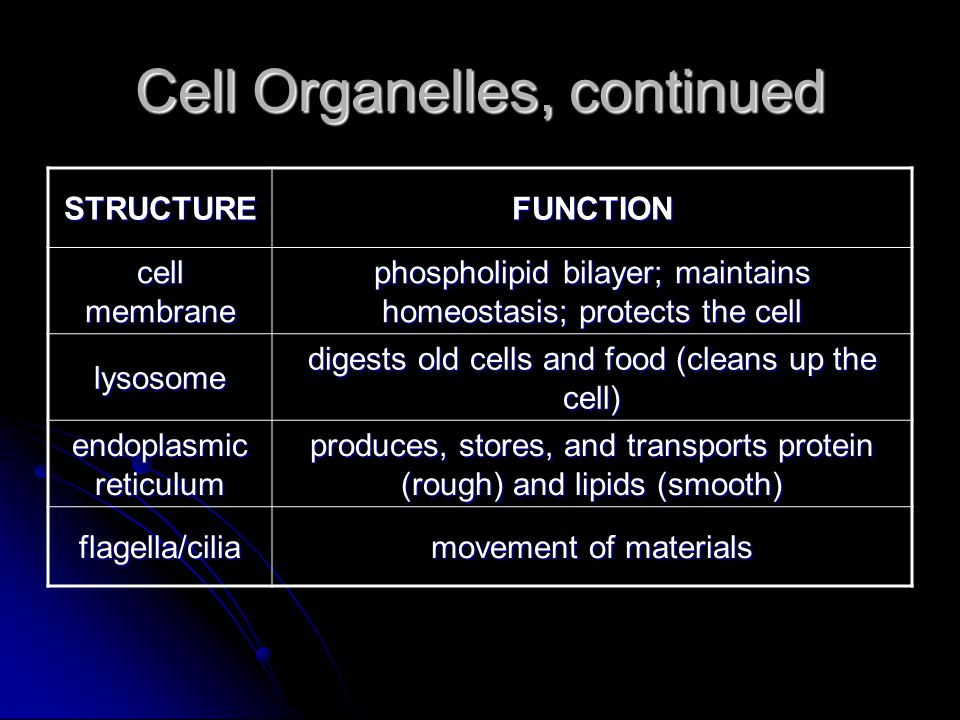 Cell Organelles, continued STRUCTUREFUNCTION cell membrane phospholipid bilayer; maintains homeostasis; protects the cell lysosome digests old cells and food (cleans up the cell) endoplasmic reticulum produces, stores, and transports protein (rough) and lipids (smooth) flagella/cilia movement of materials