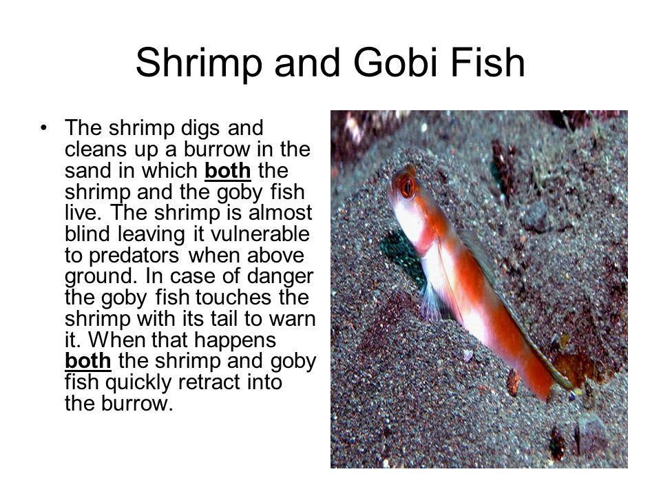 Shrimp and Gobi Fish The shrimp digs and cleans up a burrow in the sand in which both the shrimp and the goby fish live. The shrimp is almost blind le