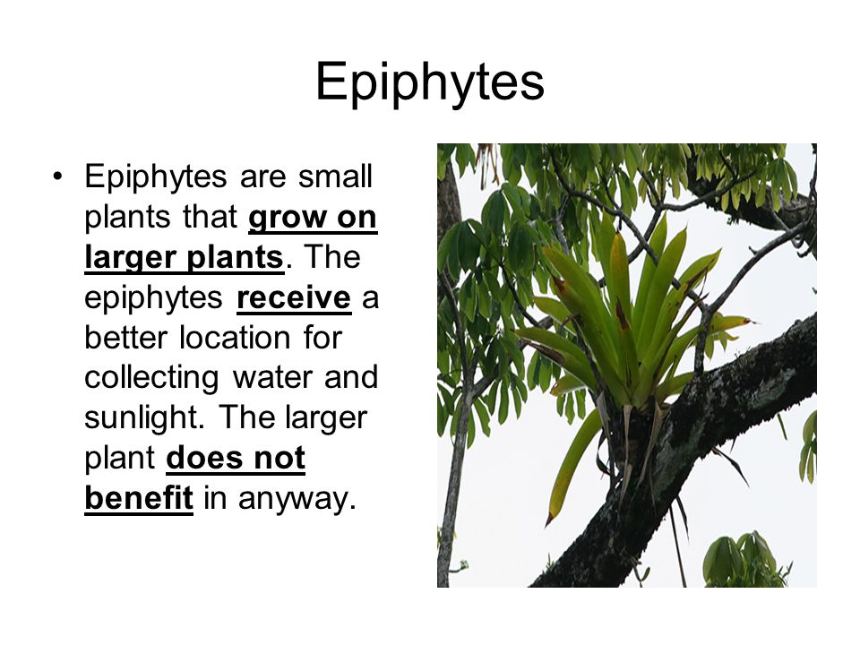 Epiphytes Epiphytes are small plants that grow on larger plants. The epiphytes receive a better location for collecting water and sunlight. The larger