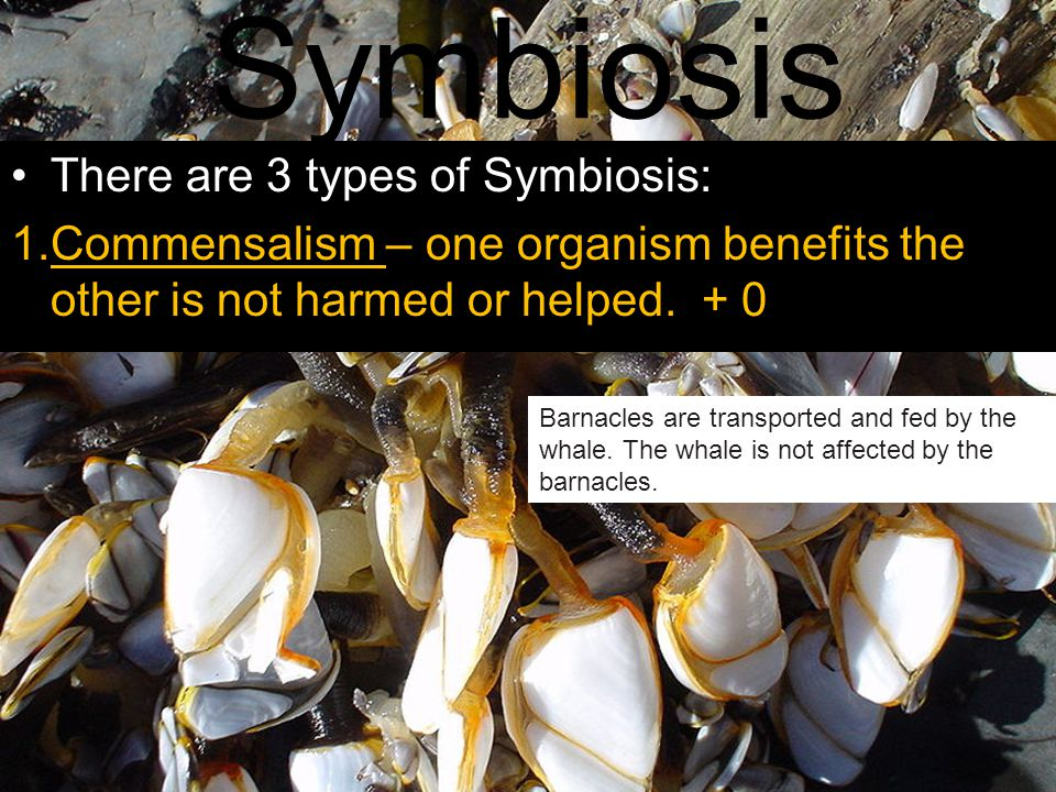Symbiosis There are 3 types of Symbiosis: 1.Commensalism – one organism benefits the other is not harmed or helped. + 0 Barnacles are transported and