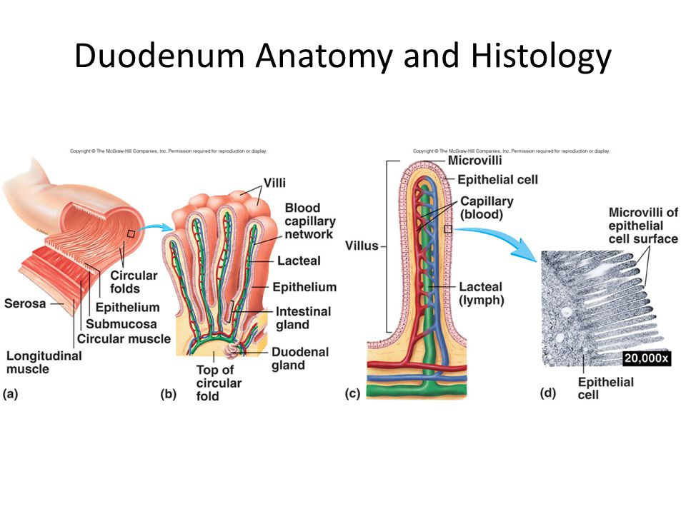Duodenum Anatomy and Histology