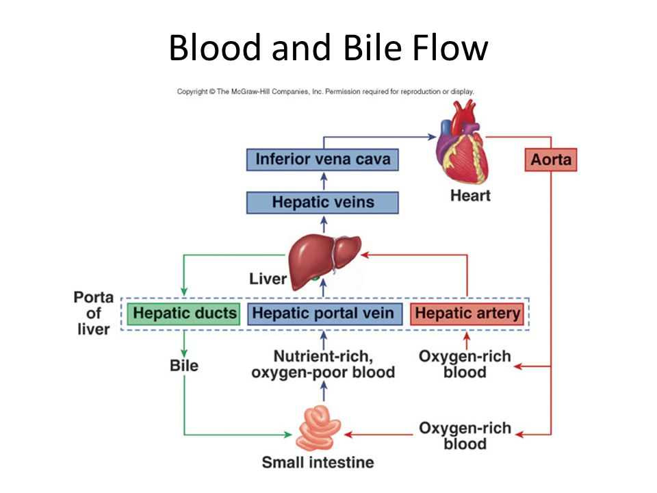 Blood and Bile Flow