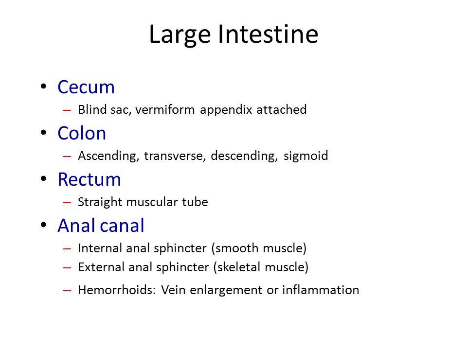 Large Intestine Cecum – Blind sac, vermiform appendix attached Colon – Ascending, transverse, descending, sigmoid Rectum – Straight muscular tube Anal