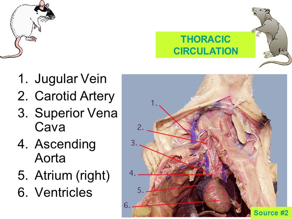 1.Jugular Vein 2.Carotid Artery 3.Superior Vena Cava 4.Ascending Aorta 5.Atrium (right) 6.Ventricles THORACIC CIRCULATION Source #2