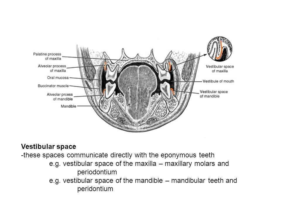 Vestibular space -these spaces communicate directly with the eponymous teeth e.g. vestibular space of the maxilla – maxillary molars and periodontium