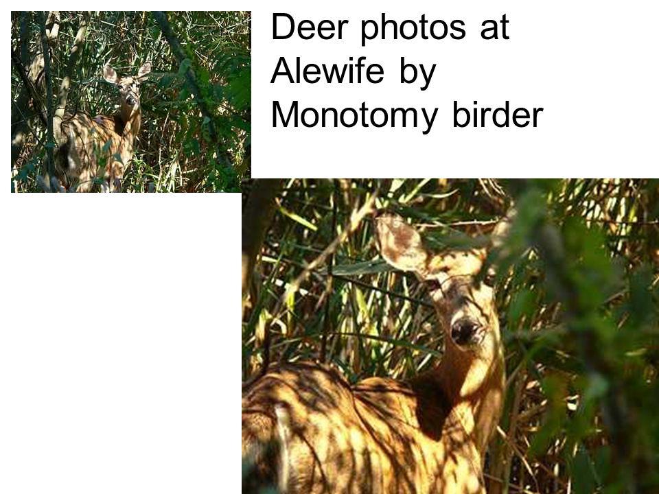 Deer photos at Alewife by Monotomy birder