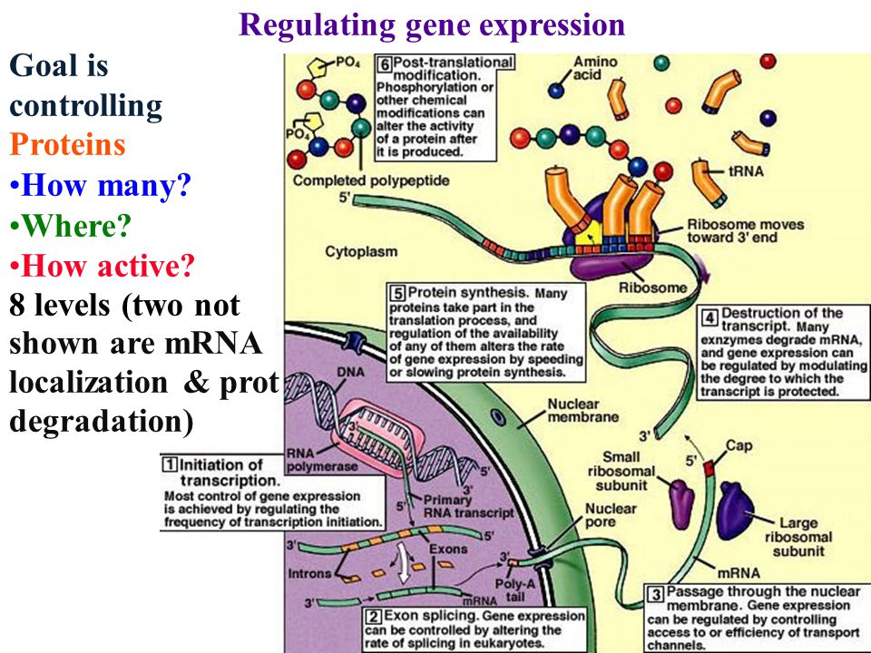 Regulating gene expression Goal is controlling Proteins How many.