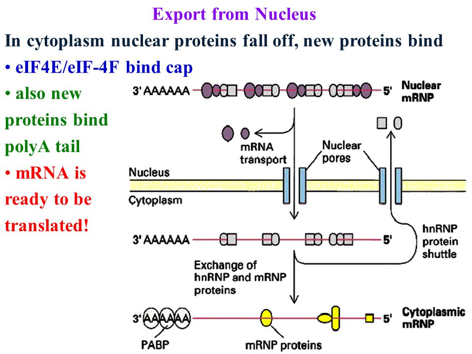 Export from Nucleus In cytoplasm nuclear proteins fall off, new proteins bind eIF4E/eIF-4F bind cap also new proteins bind polyA tail mRNA is ready to be translated!