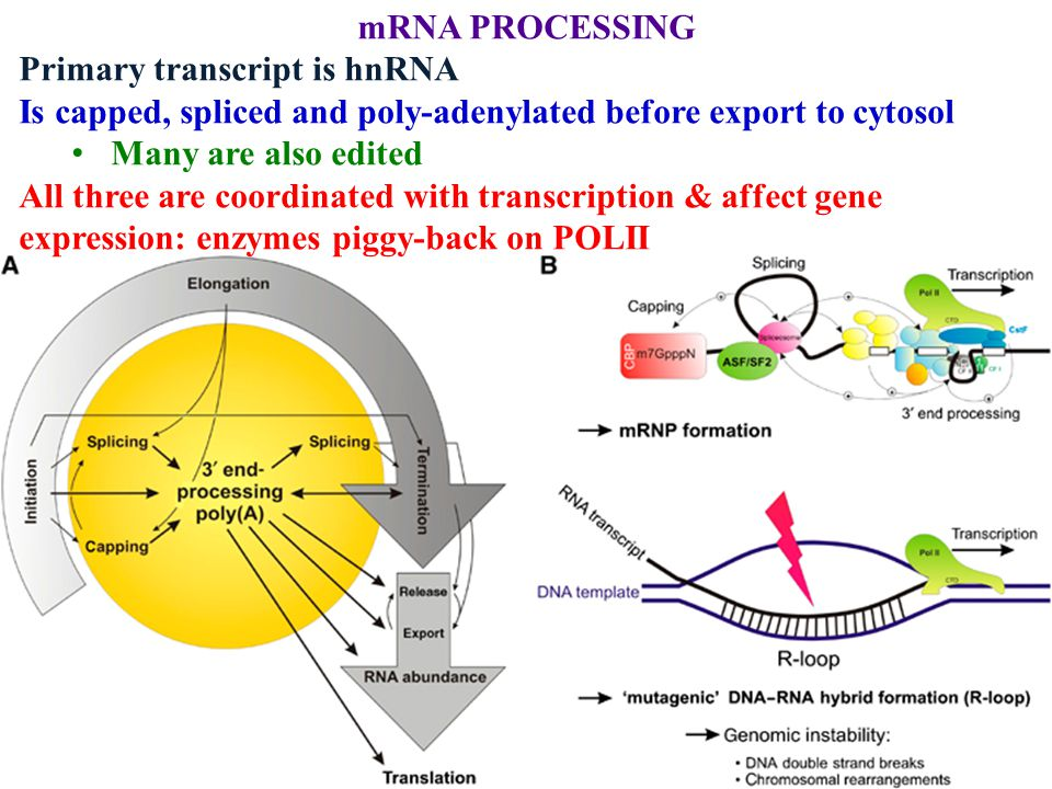 mRNA PROCESSING Primary transcript is hnRNA Is capped, spliced and poly-adenylated before export to cytosol Many are also edited All three are coordin