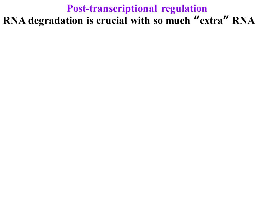 Post-transcriptional regulation RNA degradation is crucial with so much extra RNA