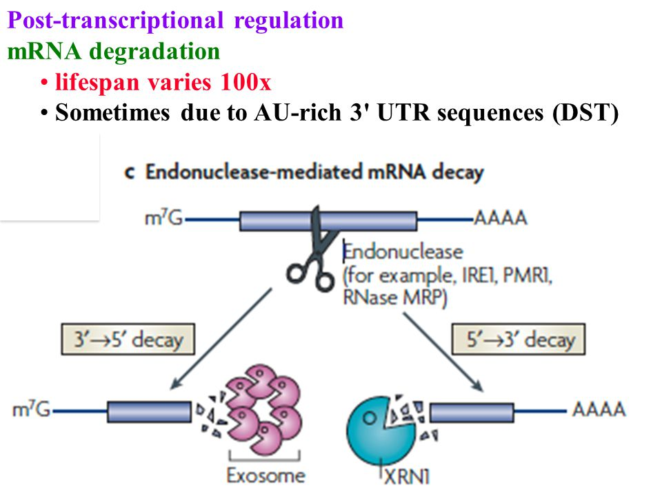 Post-transcriptional regulation mRNA degradation lifespan varies 100x Sometimes due to AU-rich 3 UTR sequences (DST)