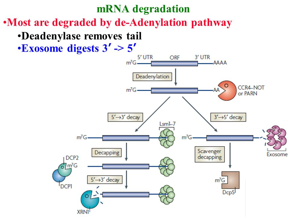 mRNA degradation Most are degraded by de-Adenylation pathway Deadenylase removes tail Exosome digests 3' -> 5'