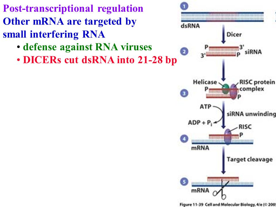 Post-transcriptional regulation Other mRNA are targeted by small interfering RNA defense against RNA viruses DICERs cut dsRNA into 21-28 bp
