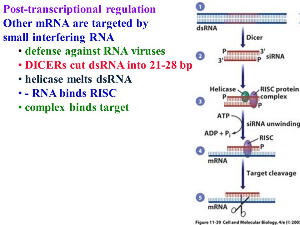 Post-transcriptional regulation Other mRNA are targeted by small interfering RNA defense against RNA viruses DICERs cut dsRNA into 21-28 bp helicase m
