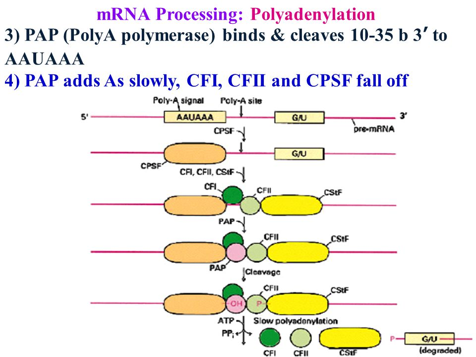mRNA Processing: Polyadenylation 3) PAP (PolyA polymerase) binds & cleaves 10-35 b 3' to AAUAAA 4) PAP adds As slowly, CFI, CFII and CPSF fall off