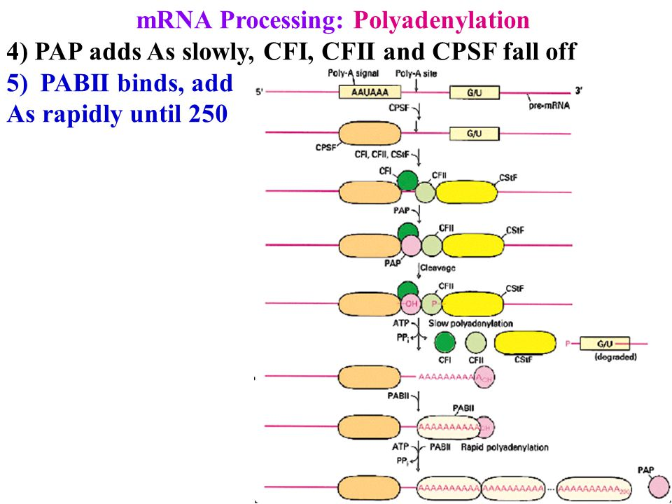 mRNA Processing: Polyadenylation 4) PAP adds As slowly, CFI, CFII and CPSF fall off 5)PABII binds, add As rapidly until 250