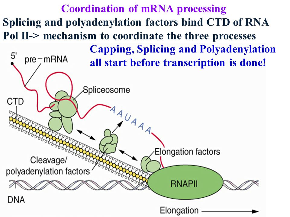 Coordination of mRNA processing Splicing and polyadenylation factors bind CTD of RNA Pol II-> mechanism to coordinate the three processes Capping, Splicing and Polyadenylation all start before transcription is done!